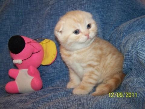 котенок рыжий красивые большие глаза