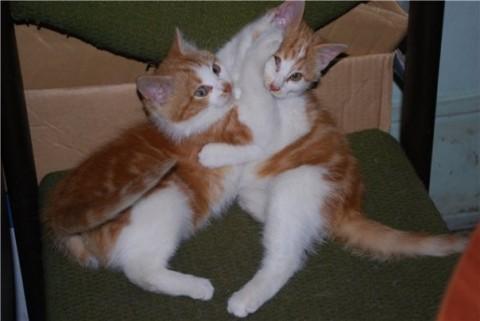 два котенка подростка рыжих смешно дерутся