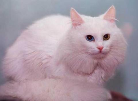 ангора белая кошка фотография красивая пушистая