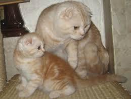 британские кошки красивые котенок и кошка