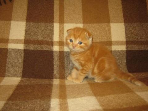маленький рыжий котенок с цветами красивый фото породистый