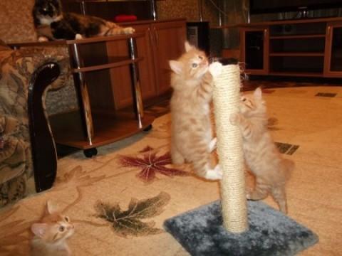 котята рыжие точат когти