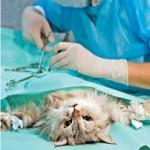 Методы стерилизации кошек