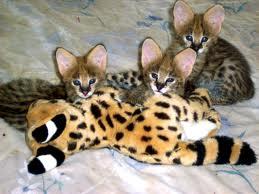 кошки-саванны--43849348943