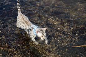 кот-породистый-в-воде