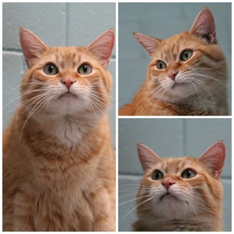 фото красивого рыжего кота с пушистыми усами