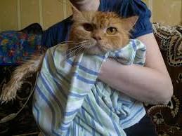 кот-рыжий-после-купания