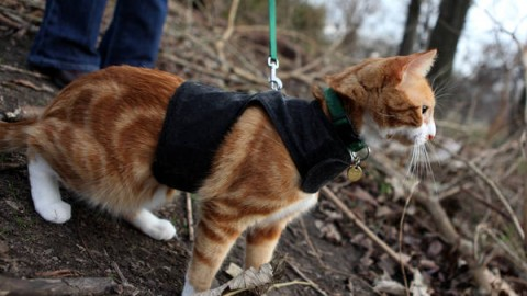 training a  cat to walk outside on a leash