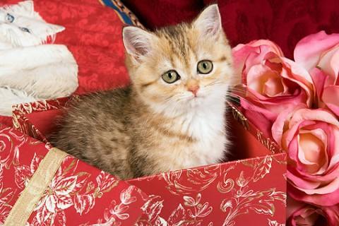 котенок в поарок в красной коробке красивый сидит