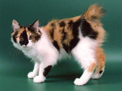 курильский бобтейл фото трехцветный кот красивый