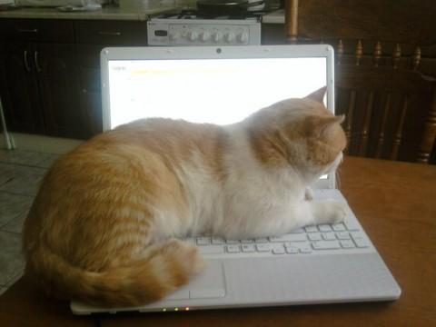 рыжий котик на ноутбуке