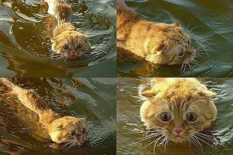 рыжий-кот-плывет