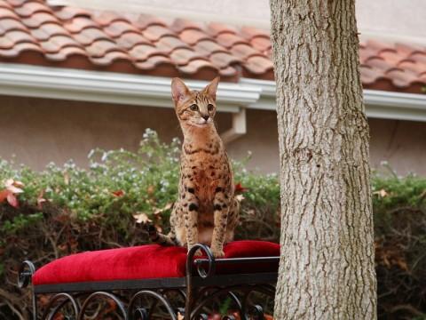 саванны-кошки