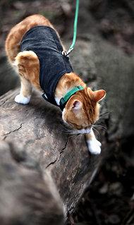 кот рыжий со шлейкой гуляет на улице