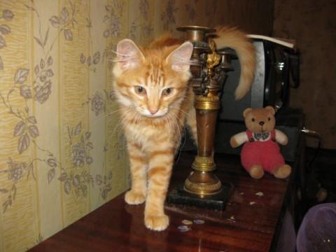 фото рыжий кот на столе ходит