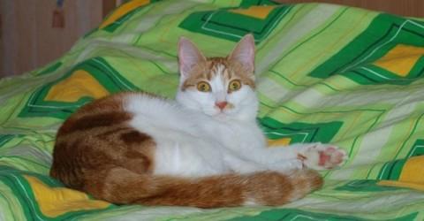 котик рыже-белый