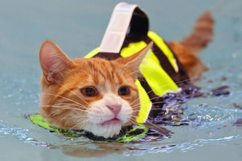 Swimming-cat