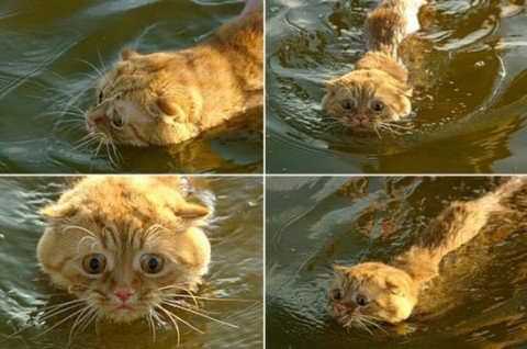 ginger-tabby-in-water