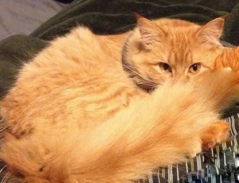 luna-lost-orange-ginger-cat-in-chilliwack-1024x640 копия