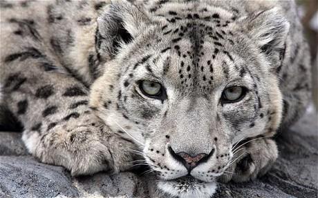 snowLeopard_1947419c