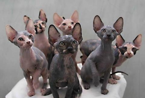 коты породы донский сфинкс