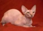 Метят ли кошки сфинксы? И как отучить их?