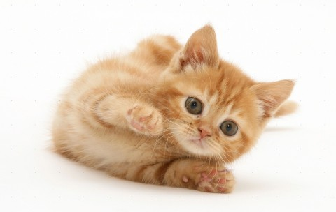 British shorthair red tabby kitten rolling playfully