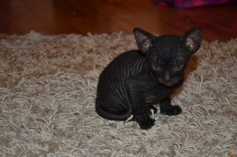 черный донской кот