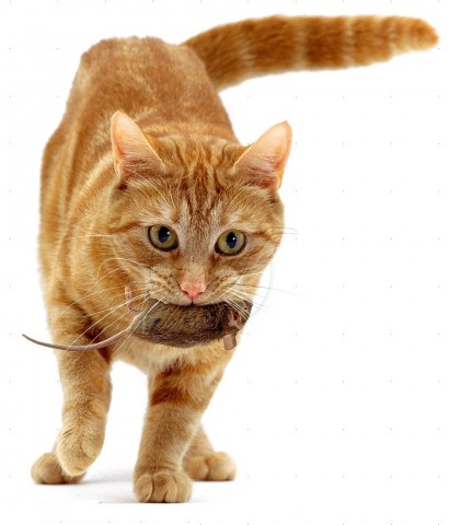 Ginger cat, Lucky, bringing a captured mouse for her kittens