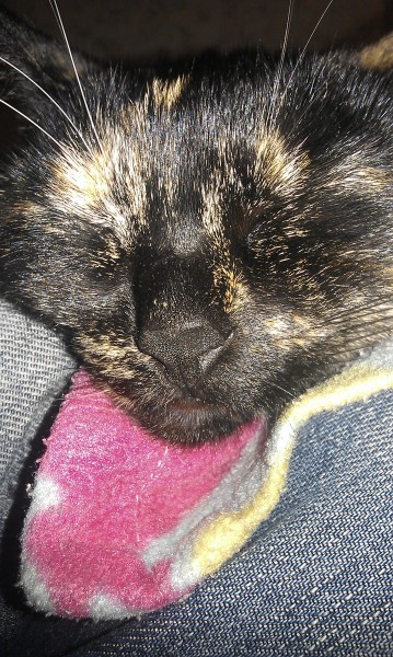 фото кошки красивой темного окраса