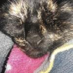 фото кошка черепаховой окраски