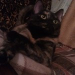 кошка на фото трехцветная красивая
