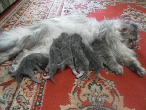 кошка британская с котятами лежит на ковре