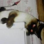 красивая кошка алиса сиамская