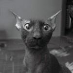 Черный донской сфинкc – красивая кошачья порода