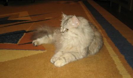 фото красивая дымчатая кошка пушистая