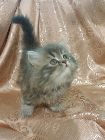кошка-маркиза