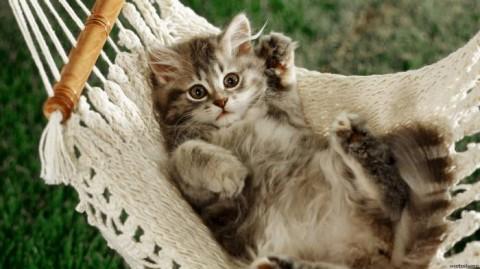 не породистый кот