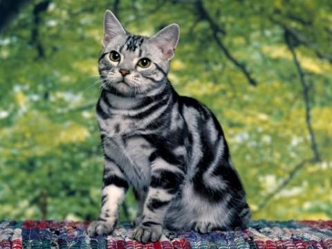 silver-tabby-cat-512x384-51