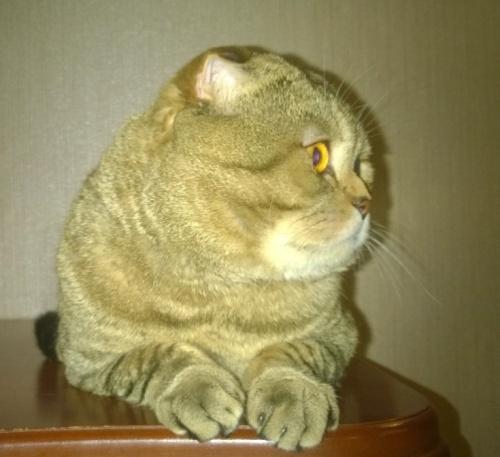 шотландский кот  красавчик
