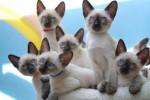 Тайские котята являются гипоаллергенными