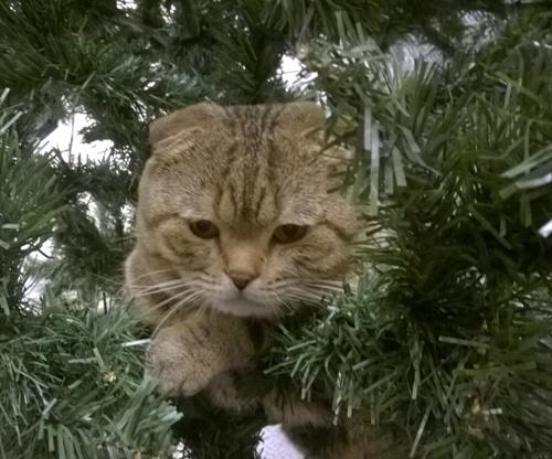 Отзыв о шотландском коте