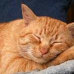 кот спит после трапезы