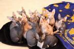 Лысые животные: кошки