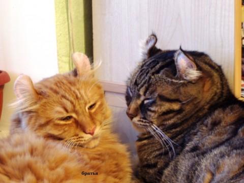 Американский керл. порода кошек