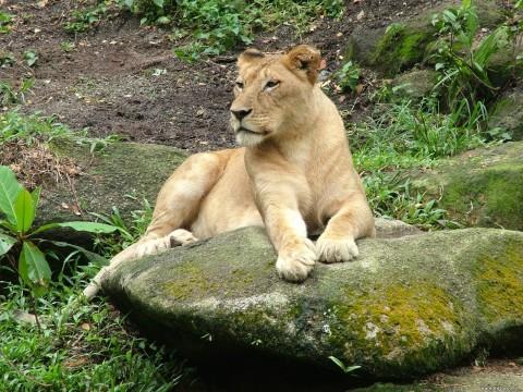 львица красивая лежит на камне летом