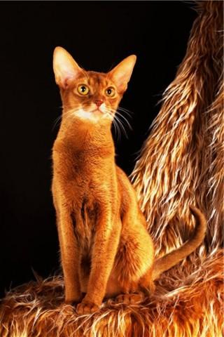 Абассинская кошка