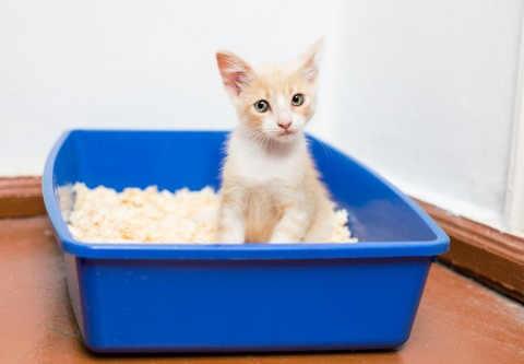 toilet-training-your-kitten-3