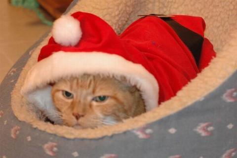 Angry-Christmas-cats03