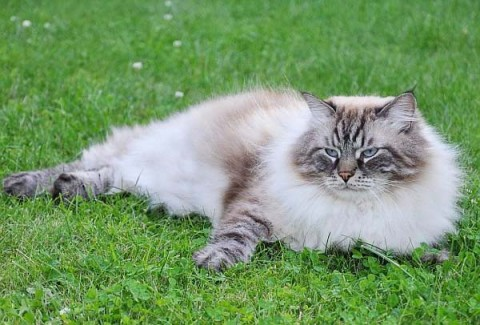 сибирская кошка заставка